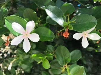 Al-Yasmeen Flower.