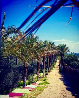 Palm trees at Nuseirat city Gaza Strip.