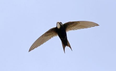 White-rumped swift, Apus caffer, at Suikerbosrand Nature Reserve